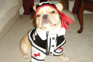 Joey, a French Bulldog, loves her fashionable pirate costume.