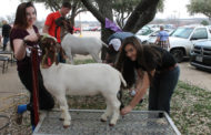 PHS FFA competes at Collin County Junior Livestock Show