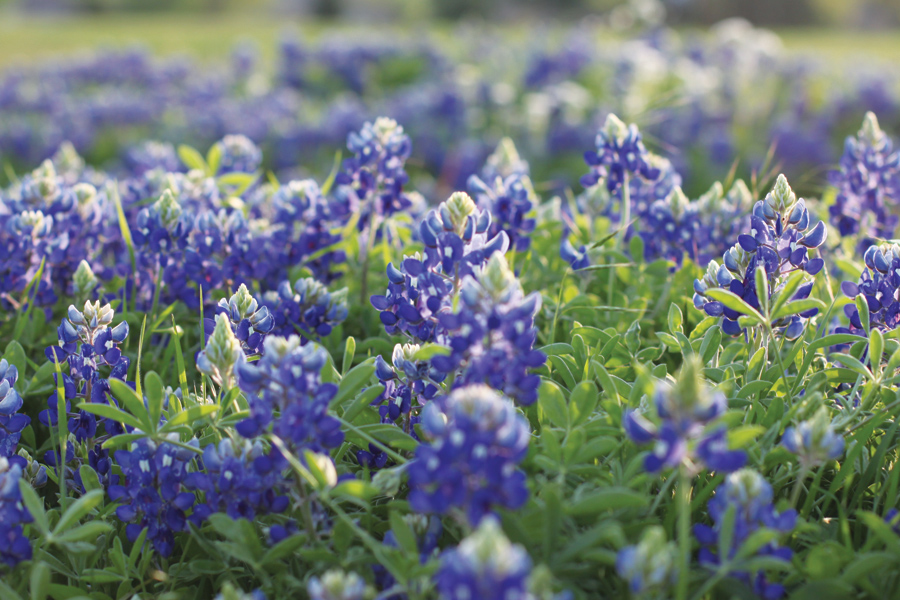 Texas bluebonnets spring to life across the state