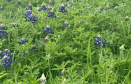 Residents encouraged to stay safe with bluebonnet season