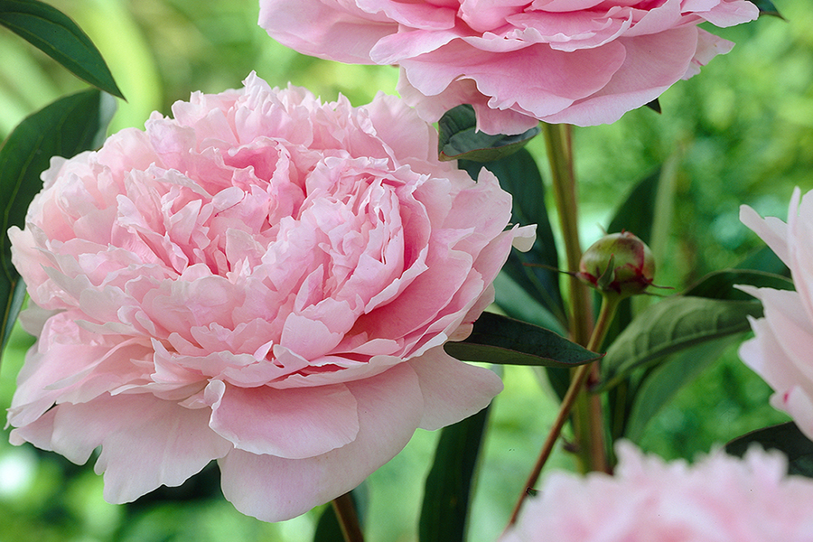 Lush peonies add beauty, fragrance to early summer gardens